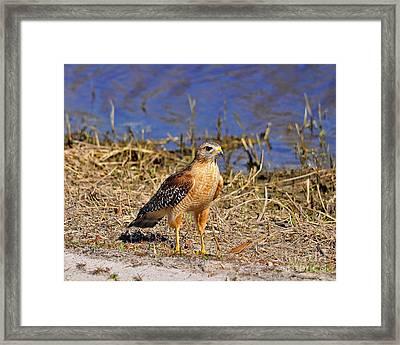 Radiant Raptor Framed Print