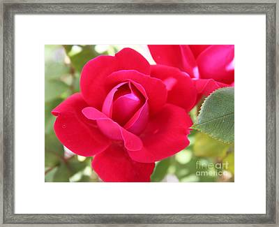 Radiant Red Rosebud Framed Print by French Toast
