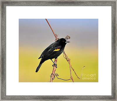 Radiant Red-winged Framed Print by Al Powell Photography USA