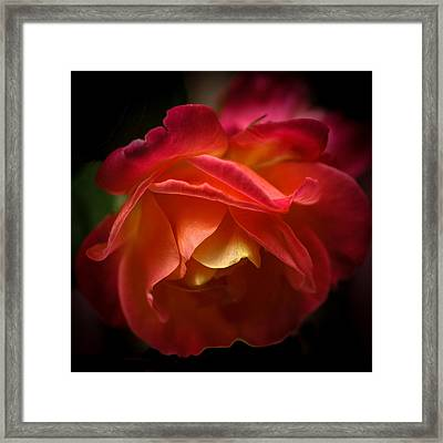Radiant Rose Framed Print