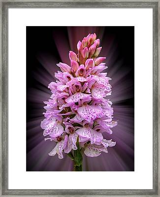 Radiant Wild Pink Spotted Orchid Framed Print by Gill Billington