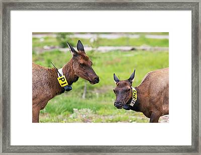 Radio-tagged Elk Framed Print by Jim West