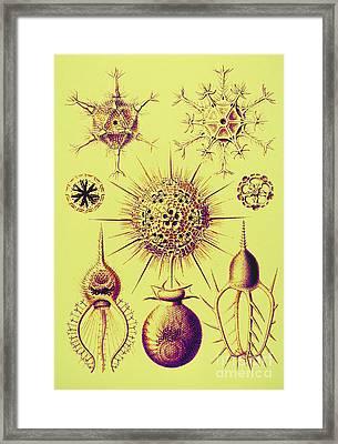Radiolarians  Framed Print by Scott Camazine