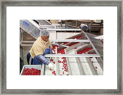 Radish Farming Framed Print by Jim West