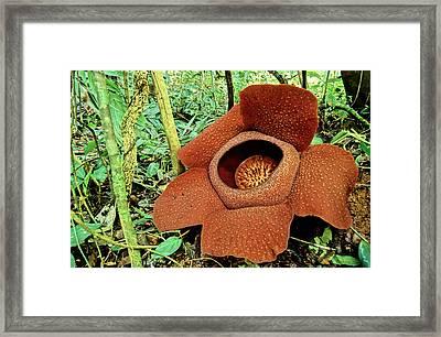 Rafflesia Kerrii Flower Framed Print
