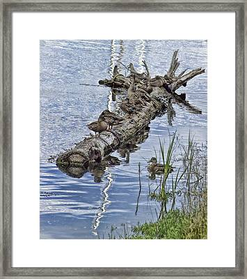 Raft Of Ducks Framed Print by Cathy Anderson