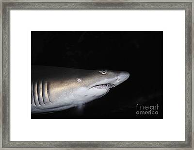 Ragged-toothed Shark In Aquarium Framed Print by Sami Sarkis