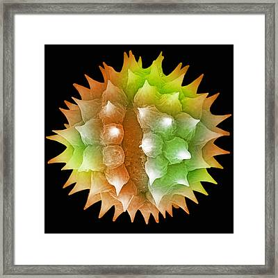 Ragweed Pollen. Sem Framed Print by Science Stock Photography