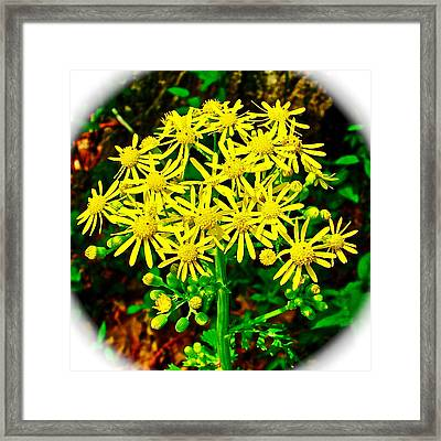 Ragwort In Donivan Slough At Mile 283 Of Natchez Trace Parkway-mississippi  Framed Print by Ruth Hager