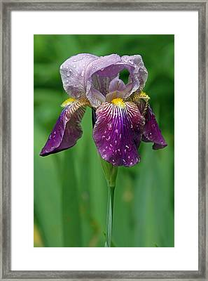Rain Drenched Iris Framed Print by Juergen Roth