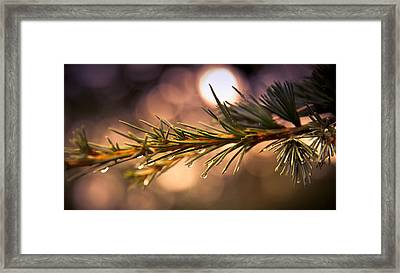 Rain Droplets On Pine Needles Framed Print