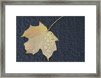 Rain Drops On A Yellow Maple Leaf Framed Print