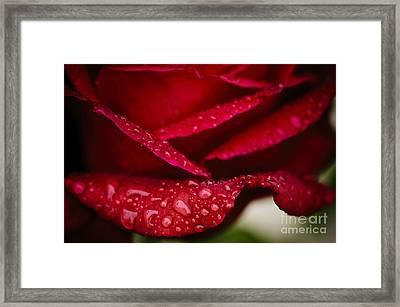Rain Drops On Rose Petal Framed Print by Oscar Gutierrez