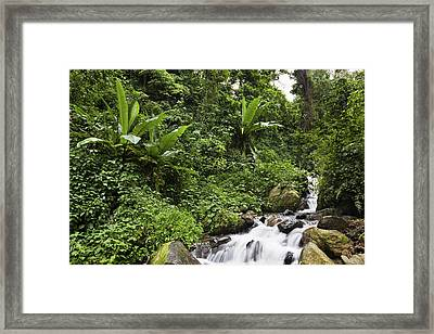 Rain Forest With Wild Banana Framed Print
