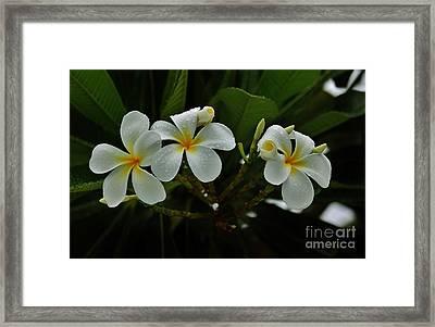 Rain Kissed Plumeria Framed Print