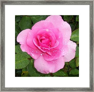 Rain Kissed Rose Framed Print by Catherine Gagne