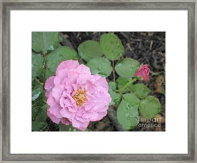 Rain Kissed Rose Framed Print