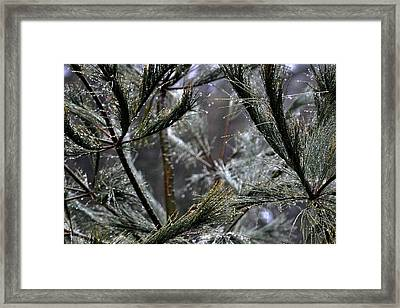 Rain On Pine Needles Framed Print