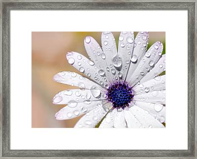 Rain Soaked Daisy Framed Print