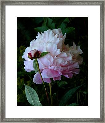 Rain-soaked Peonies Framed Print by Rona Black