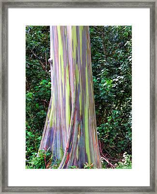 Rainbow Eucalyptus 3 Framed Print