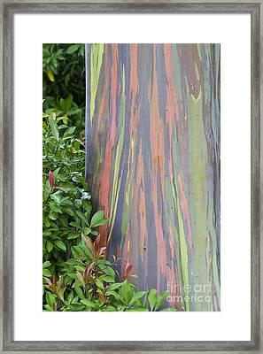 Rainbow Eucalyptus Framed Print by Bryan Keil