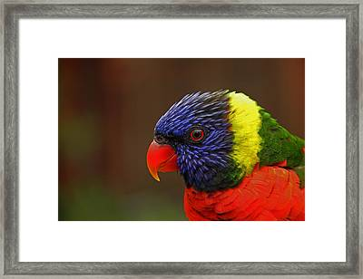 Framed Print featuring the photograph Rainbow Lorikeet by Andy Lawless