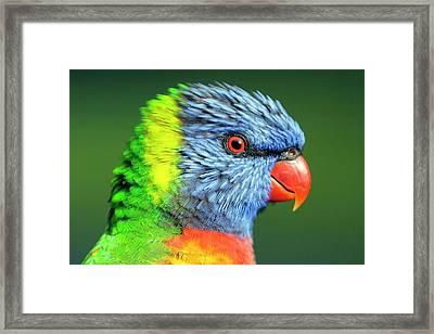 Rainbow Lorikeet Framed Print by Bildagentur-online/mcphoto-schulz