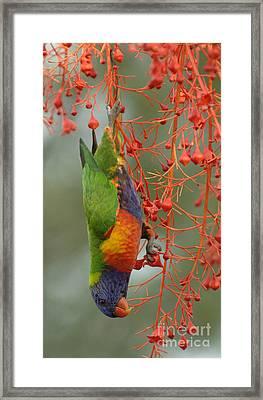 Rainbow Lorikeet Framed Print by Bob Christopher