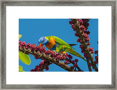 Rainbow Lorikeet Feeding On Queensland Framed Print by D. Parer & E. Parer-Cook