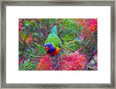 Rainbow Lorikeet I Framed Print by Cassandra Buckley