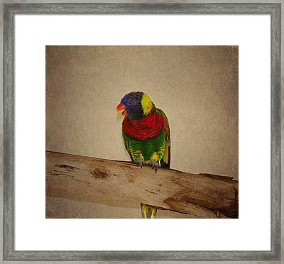 Rainbow Lorikeet Framed Print by Kim Hojnacki