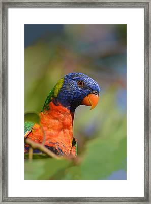 Rainbow Lorikeet Parrot  Framed Print