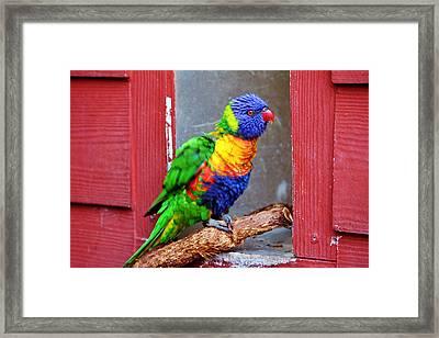 Rainbow Lory Framed Print by Cynthia Guinn