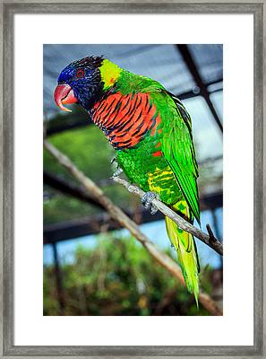 Framed Print featuring the photograph Rainbow Lory by Sennie Pierson
