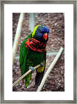 Framed Print featuring the photograph Rainbow Lory Too by Sennie Pierson