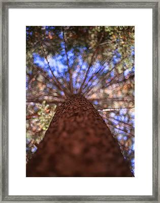 Rainbow Pine Framed Print by Aaron Aldrich