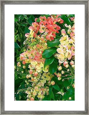 Rainbow Shower Tree Framed Print by James Temple