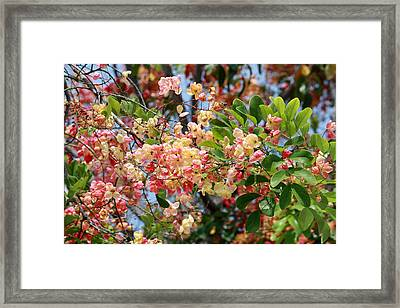 Rainbow Shower Tree Framed Print