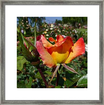 Rainbow Sorbet Framed Print by Denise Mazzocco