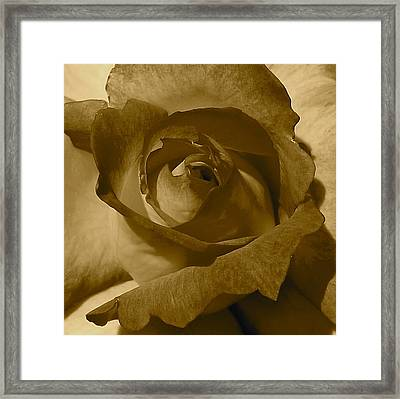 Rainbow Sorbet Rose In Sepia Framed Print by Denise Mazzocco