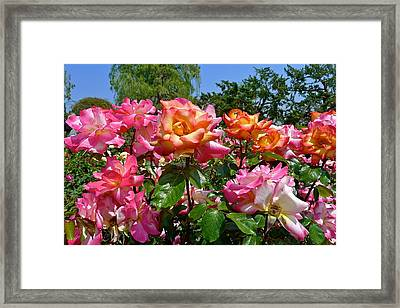 Rainbow Sorbet Roses Framed Print by Denise Mazzocco