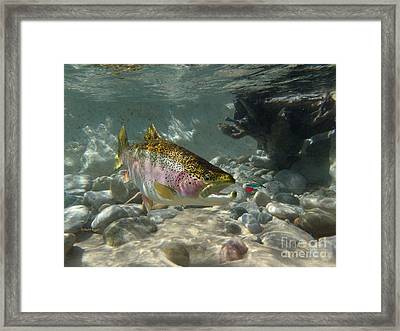 Rainbow Trout And Supervisor Fly Framed Print