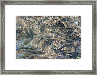 Rainbow Trout Art Prints Canvas Framed Framed Print by Baslee Troutman