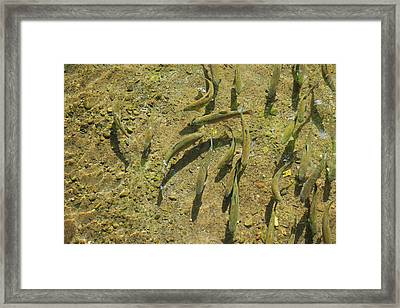 Rainbow Trout Art Prints Fish Fishing Fishermen Framed Print by Baslee Troutman