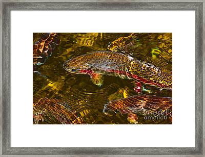 Rainbow Trout Framed Print by Cari Gesch