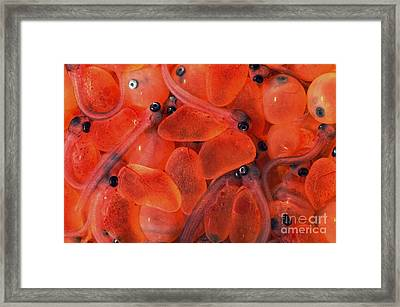 Rainbow Trout Eggs Framed Print by Theodore Clutter