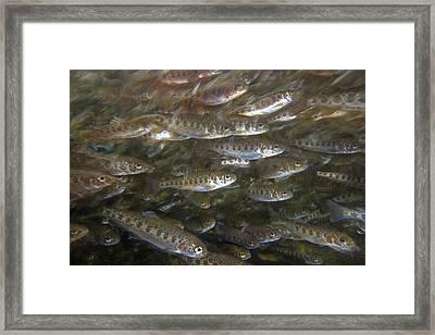 Rainbow Trout Fry Framed Print by Michael Durham