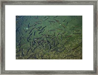 Rainbow Trout Framed Print by Joel Moranton