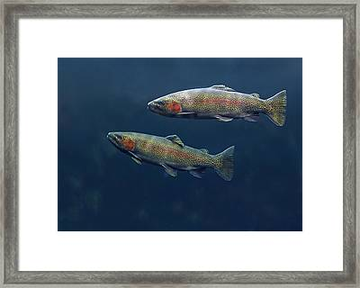 Rainbow Trout Pair Swimming Framed Print by Tim Fitzharris